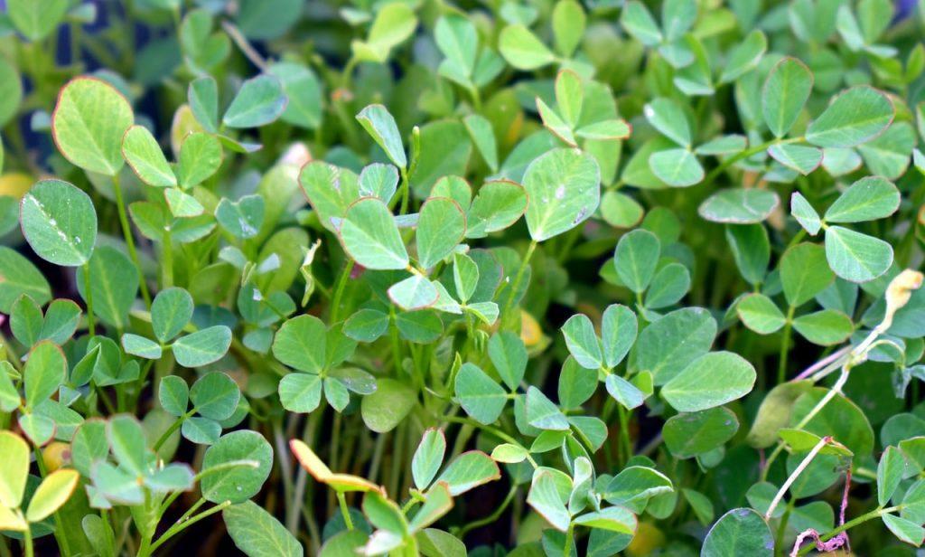 fenugreek leaves for diabetes and choleterol