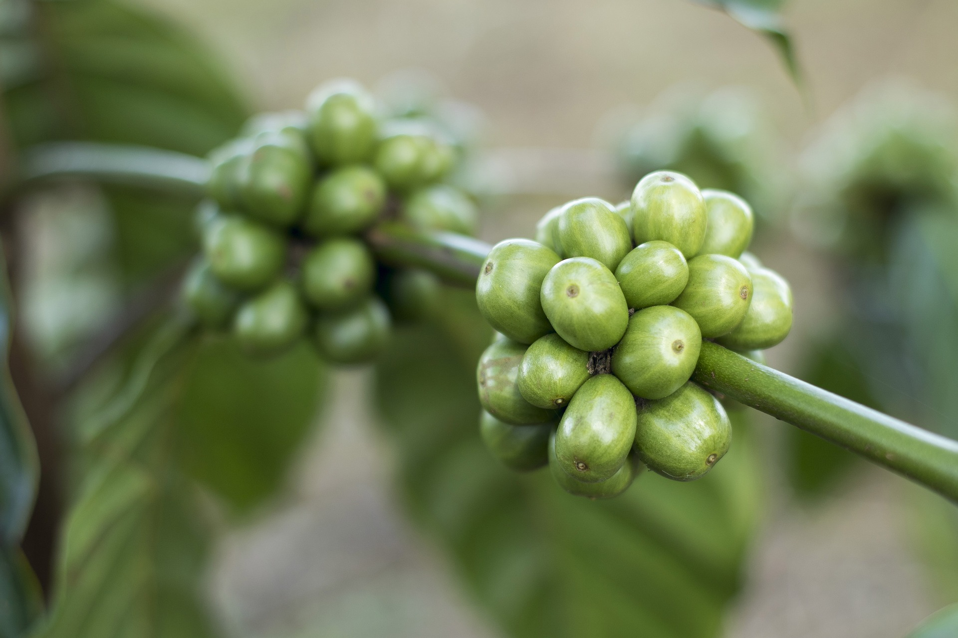 Green Coffee For Weight Loss Benefits Side Effects How To Prepare