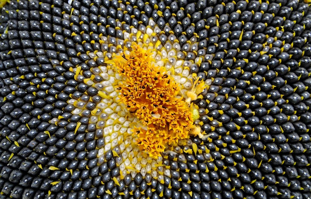 Sunflower Seeds Benefits: Exceptional Benefits Of Sunflower Seeds