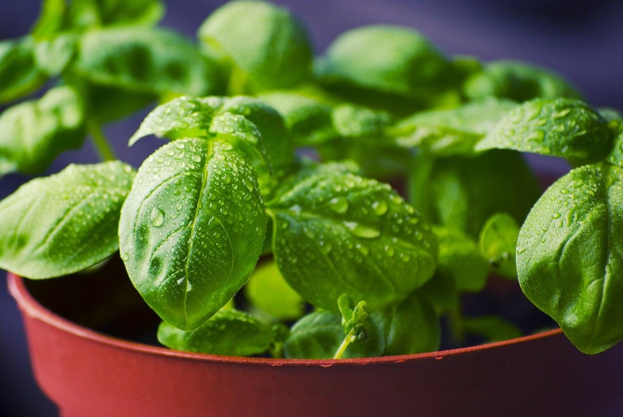 Basil Seeds Benefits: Interesting Reasons To Eat Sabja Seeds Daily