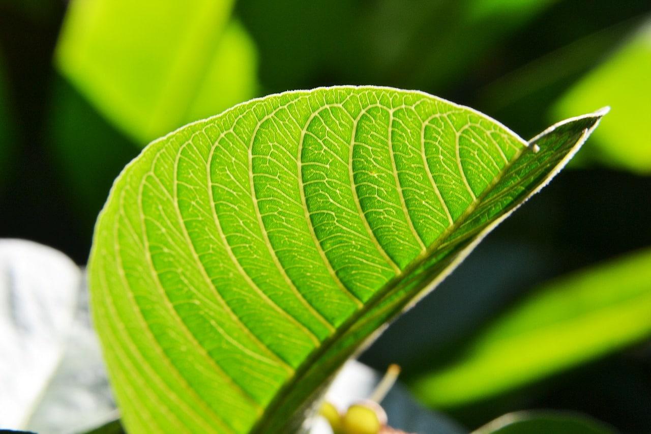 benefits of guava leaf