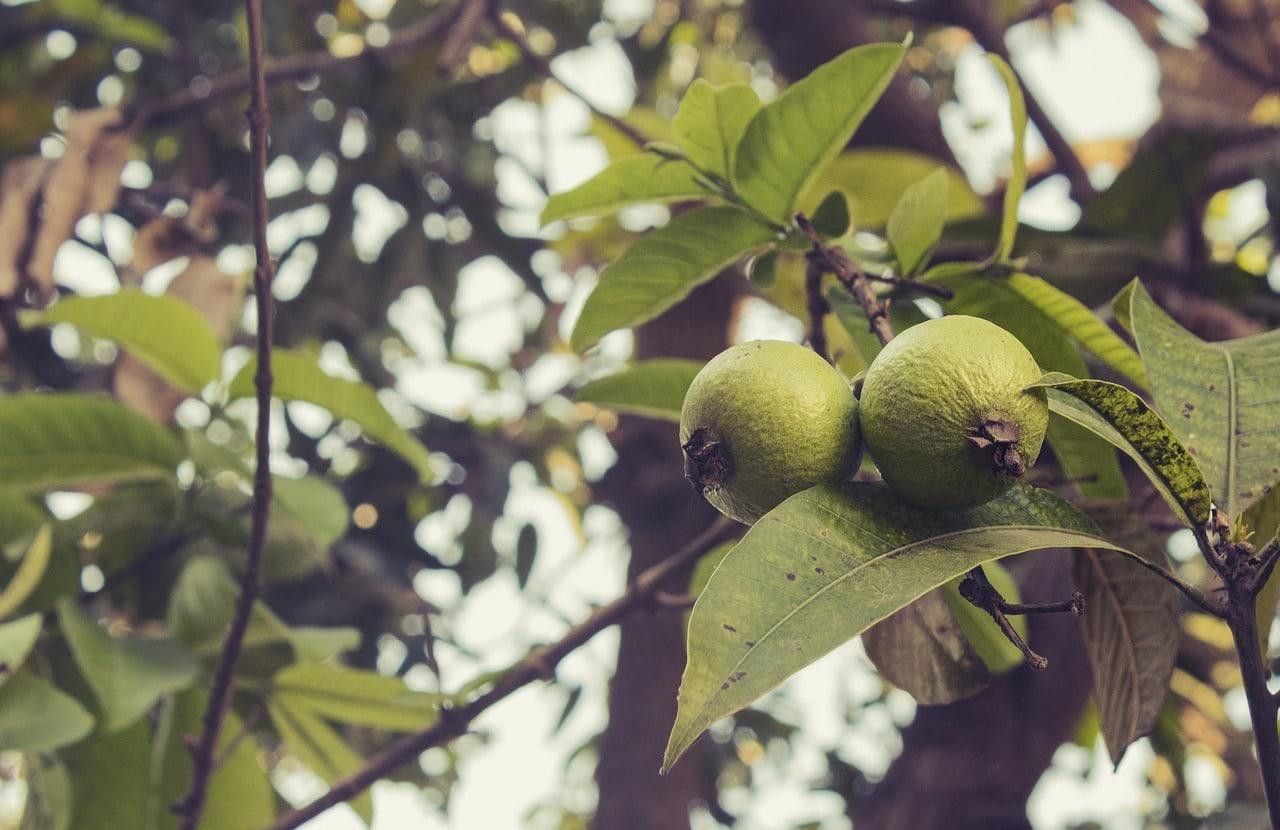 benefits og guava leaves