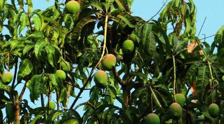Benefits Of Mango Leaves