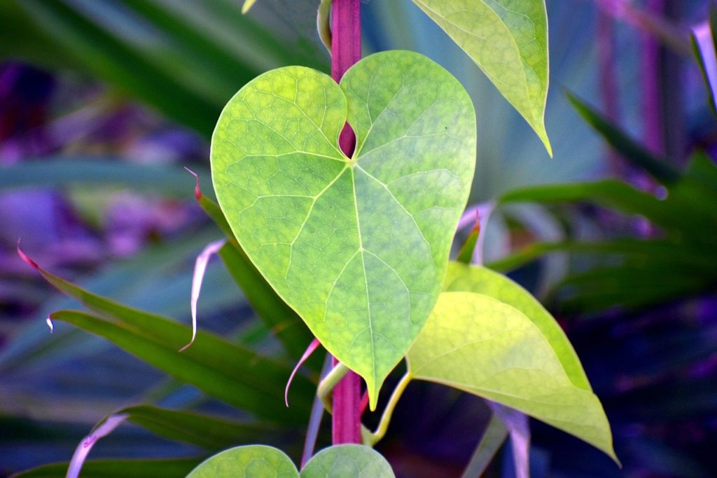 14 Immunity-Boosting Health Benefits & Side Effects of Giloy