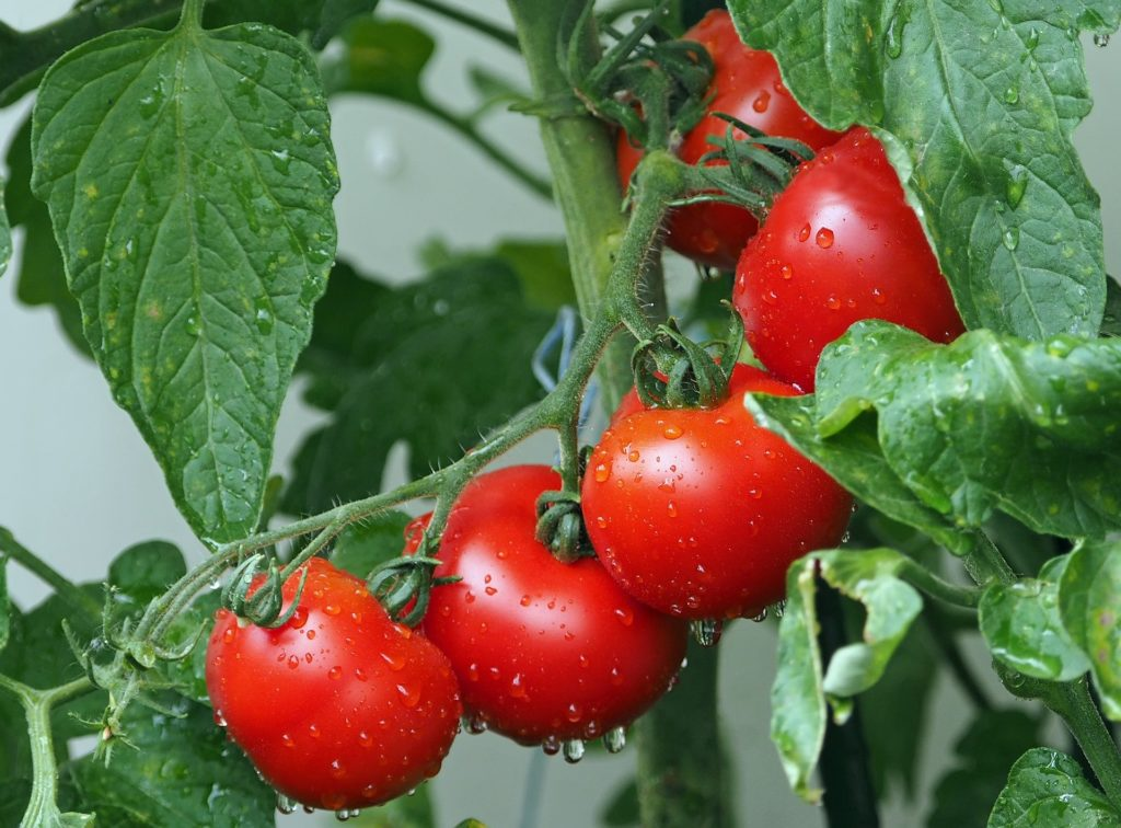 Benefits Of Tomato: Incredible Benefits Of This Fruit You May Not Have Known